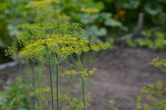 Dill organic Royalty Free Stock Images