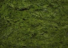 Dill parkerar gräsplan för gräs för det vintergröna för filialvåren för färg frodiga nya för bakgrunder för tillväxt för trädet f Royaltyfria Foton