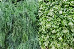 Dill and parsley for sale at city market. Dill and parsley for sale at city farmers market stock image
