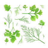 Dill and parsley. Vector twigs of dill and parsley Royalty Free Stock Photography