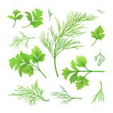 Dill and parsley. Vector twigs of dill and parsley Royalty Free Stock Photo