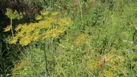 Dill. The picture was filmed in farm near the town of Yambol stock video footage