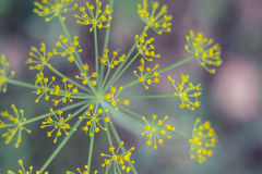 Dill Plant. Abstract view of a dill plant Royalty Free Stock Photos