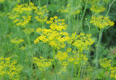 Dill plant, Anethum graveolens Royalty Free Stock Image