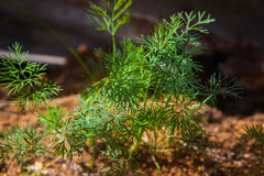 Dill plant on the farm Royalty Free Stock Photo