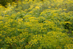 Dill plant. Fennel flower. Stock Photography