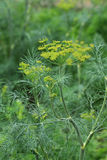 Dill plant and flower. As agricultural background stock image