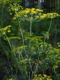 Dill plant Royalty Free Stock Photography