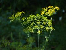 Dill plant. Dill flower on the herb garden royalty free stock image