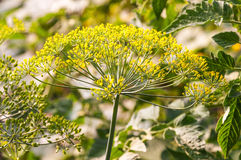 Dill plant Royalty Free Stock Image