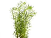 dill plant Royalty Free Stock Photo