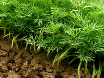 Dill plants. Green dill plants growing on bed Royalty Free Stock Photo