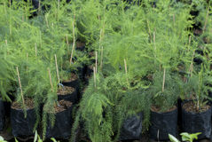 Dill plants in a nursery Royalty Free Stock Photo