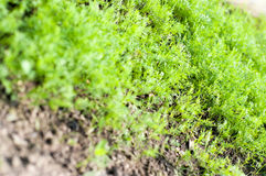 Dill plants Stock Image