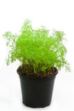 Dill in a pot. Isolated on white background Stock Image