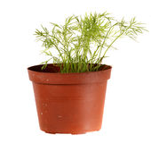 Dill in a pot, isolated on white Royalty Free Stock Image