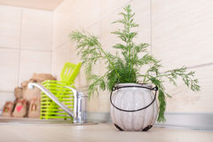 Dill in pot on kitchen countertop Royalty Free Stock Photography