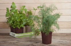 Dill in a pot and other spicy plants in the background. Stock Photography