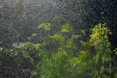 Dill and  rain Royalty Free Stock Photo