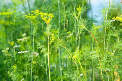 Dill's flowers. Green and yellow dill's flowers on the other plants background stock image