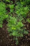 Dill seedlings Stock Photography