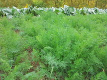 Dill seedlings Stock Photos
