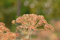 Dill seeds Royalty Free Stock Photography