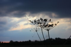 Dill seeds on the plant with the dark clouded sky on the background Royalty Free Stock Image