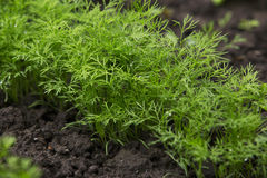 Dill in а soil. The green dill growing in а soil Royalty Free Stock Images