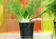 Dill soya plant Stock Images