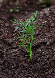 Dill sprout Royalty Free Stock Images