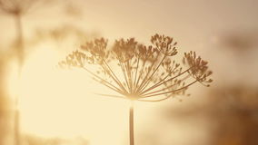 Dill at sunset swaying. In the wind stock video footage