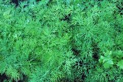 Dill trees Stock Photos