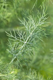 Dill twig Royalty Free Stock Photography