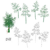 Dill Twigs  Set Stock Image