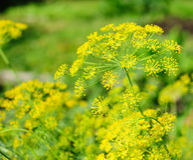 Dill umbel. Bright yellow dill umbel closeup Royalty Free Stock Image