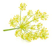 Dill Umbel Royalty Free Stock Photo