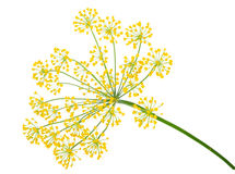 Free Dill Umbel Isolated Royalty Free Stock Photos - 82261698
