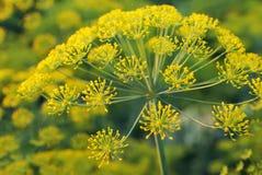 Dill. Umbelliferous aromatic Eurasian plant Royalty Free Stock Image
