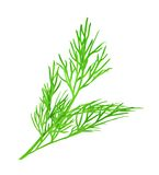 Dill vector illustration. Dill, vector illustration,  on white background Stock Image