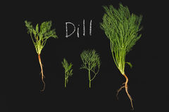 Dill vegetable ingredient nature green blackboard Royalty Free Stock Photography