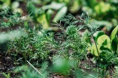 Dill wächst im Garten gewürze lizenzfreie stockfotos