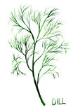 Dill, watercolor illustration Royalty Free Stock Images