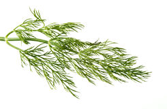 Dill weed Royalty Free Stock Images