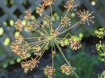 Dill weed dried seed head Stock Photos