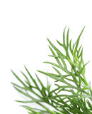 Dill on white background Stock Images