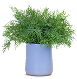 Dill. Young selenium fennel blue ceramic mug isolated on a white background Royalty Free Stock Photography