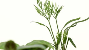 Dille seedlingTime-Tijdspanne stock video