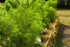 dilled Zielarski liścia tło obraz royalty free