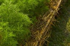 dilled Zielarski liścia tło obrazy royalty free